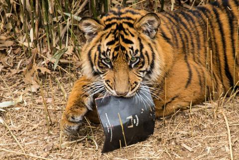 Tiger holding copy of Endangered Song